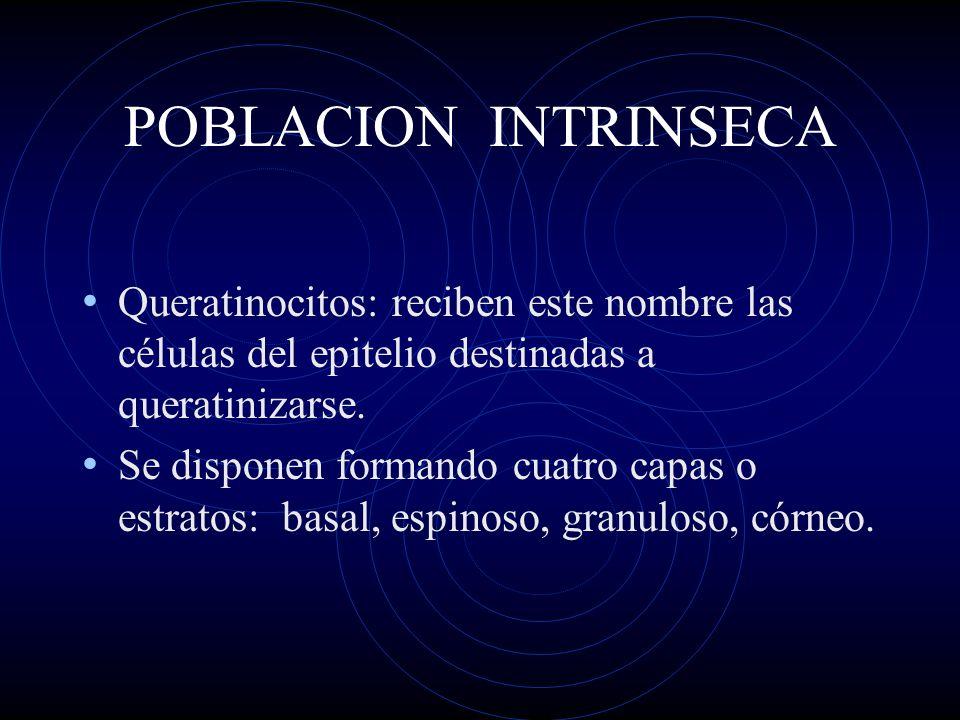 POBLACION INTRINSECA Queratinocitos: reciben este nombre las células del epitelio destinadas a queratinizarse.