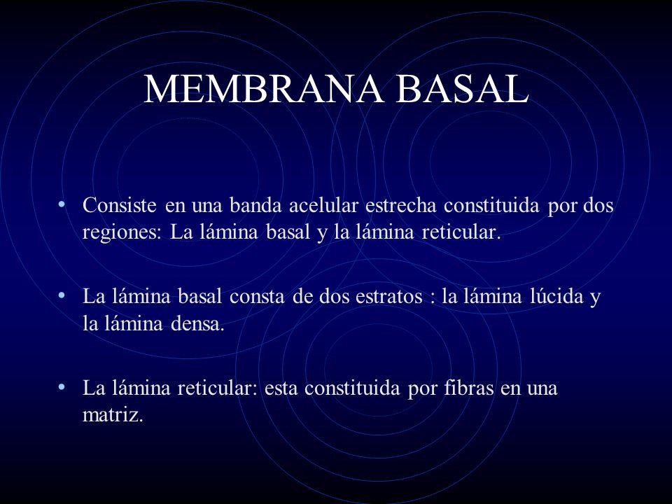 MEMBRANA BASAL Consiste en una banda acelular estrecha constituida por dos regiones: La lámina basal y la lámina reticular.