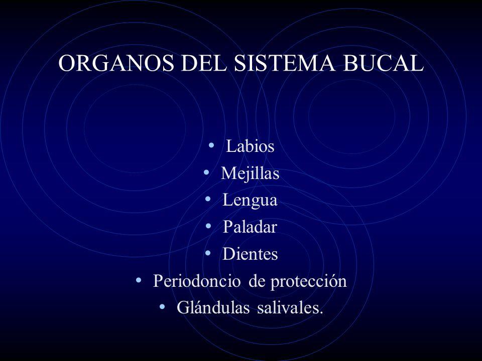 ORGANOS DEL SISTEMA BUCAL