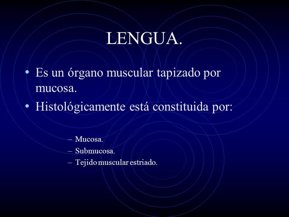 LENGUA. Es un órgano muscular tapizado por mucosa.