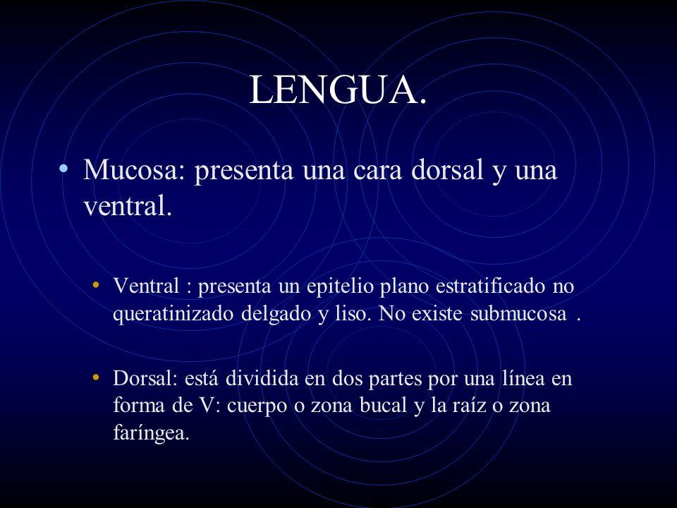 LENGUA. Mucosa: presenta una cara dorsal y una ventral.
