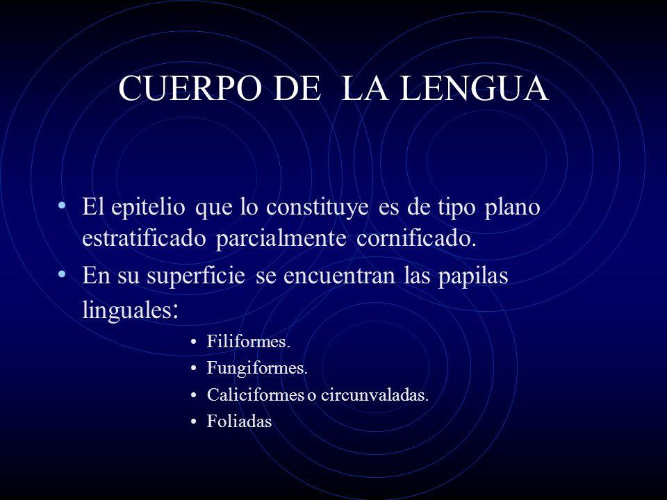 CUERPO DE LA LENGUAEl epitelio que lo constituye es de tipo plano estratificado parcialmente cornificado.