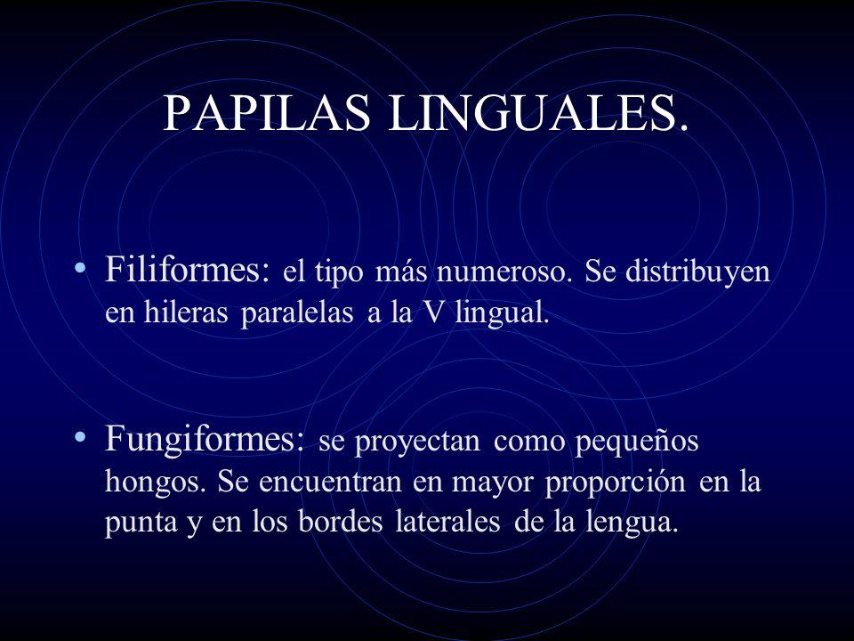 PAPILAS LINGUALES.Filiformes: el tipo más numeroso. Se distribuyen en hileras paralelas a la V lingual.