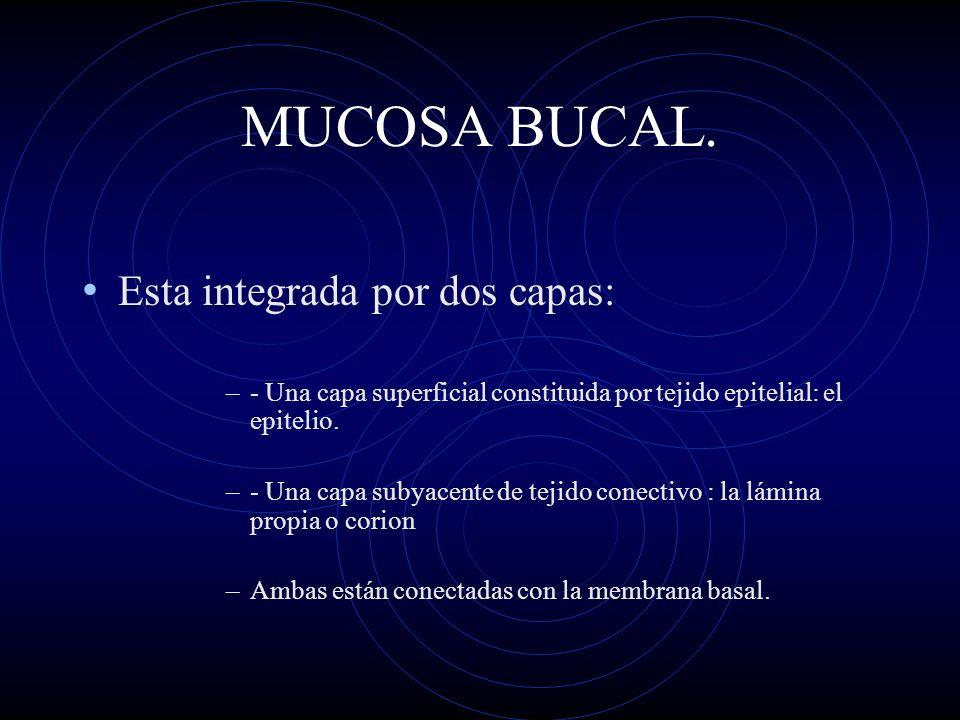 MUCOSA BUCAL. Esta integrada por dos capas: