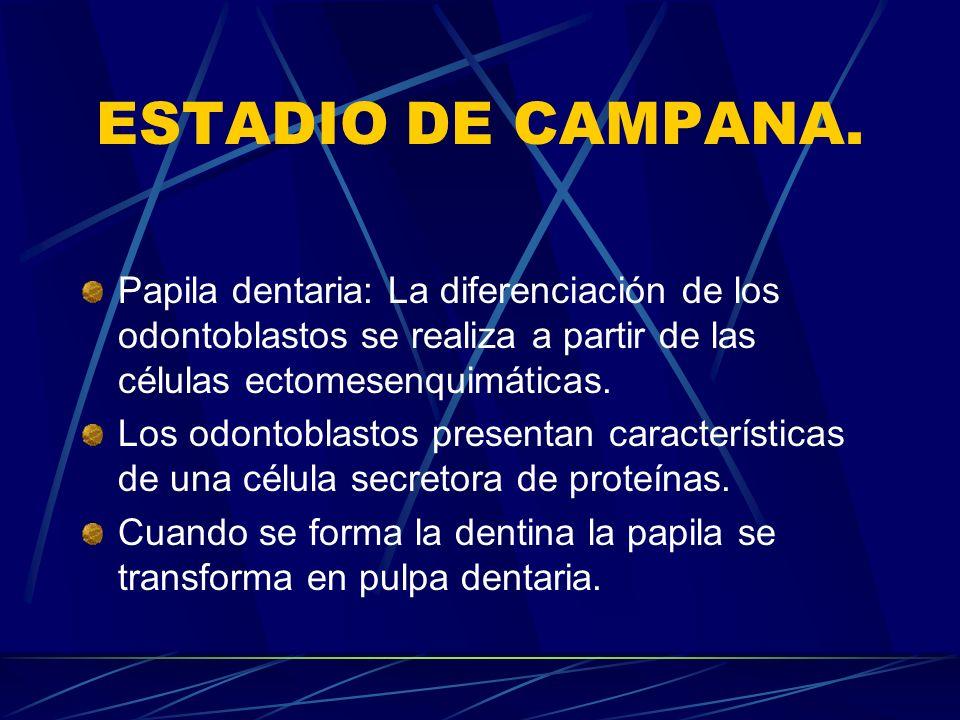 ESTADIO DE CAMPANA. Papila dentaria: La diferenciación de los odontoblastos se realiza a partir de las células ectomesenquimáticas.