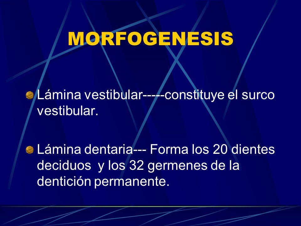 MORFOGENESIS Lámina vestibular-----constituye el surco vestibular.
