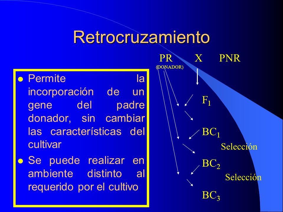 Retrocruzamiento PR X PNR (DONADOR)