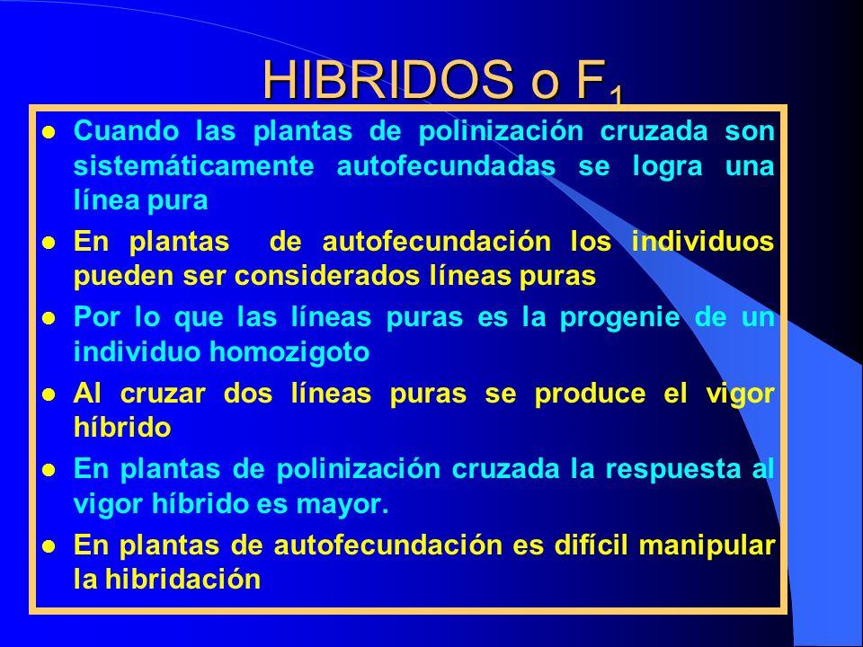 HIBRIDOS o F1 Cuando las plantas de polinización cruzada son sistemáticamente autofecundadas se logra una línea pura.