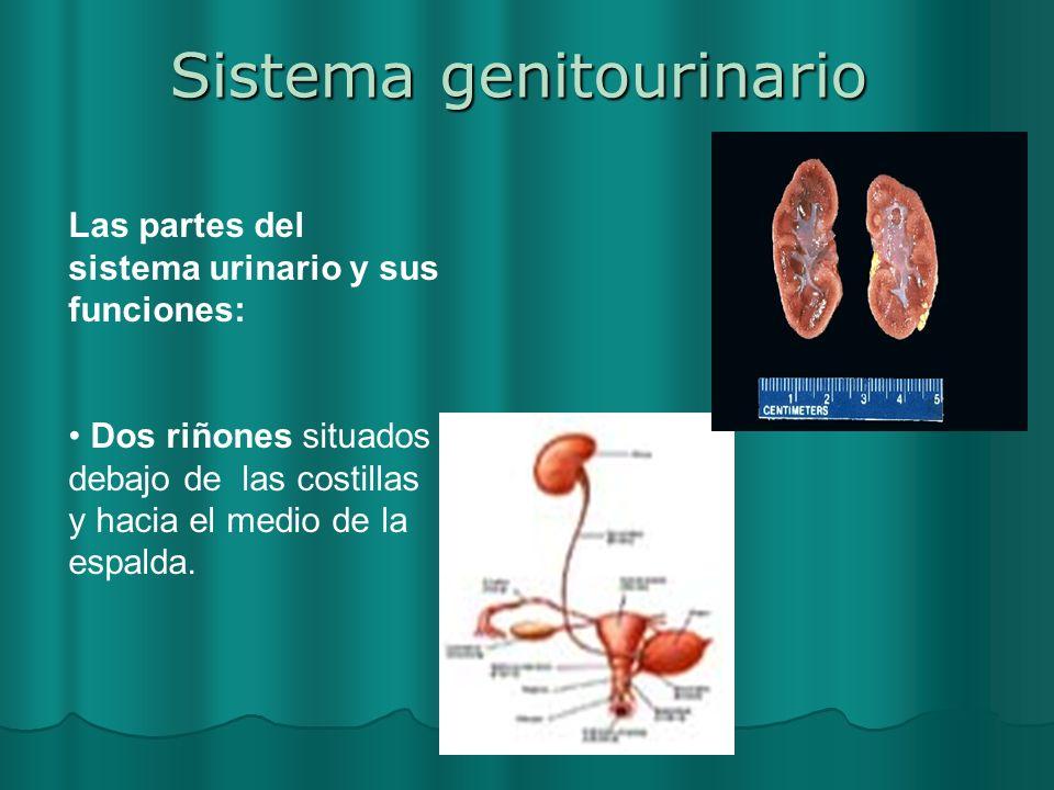 Sistema genitourinario