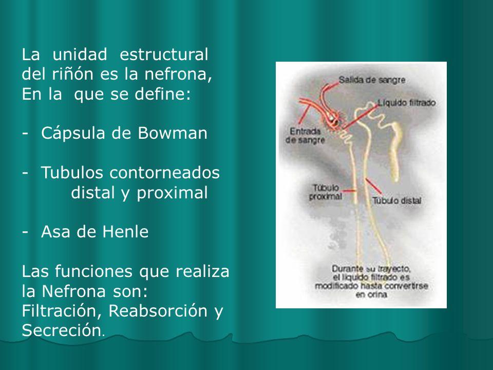 La unidad estructural del riñón es la nefrona,