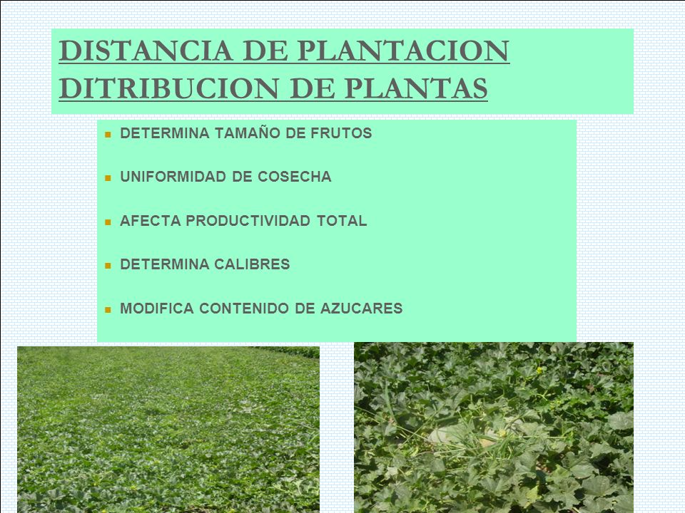 DISTANCIA DE PLANTACION DITRIBUCION DE PLANTAS