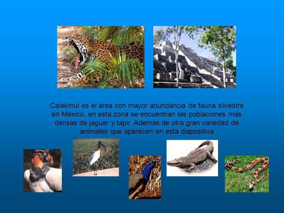 Calakmul es el área con mayor abundancia de fauna silvestre en México, en esta zona se encuentran las poblaciones más densas de jaguar y tapir, Además de otra gran variedad de animales que aparecen en esta diapositiva