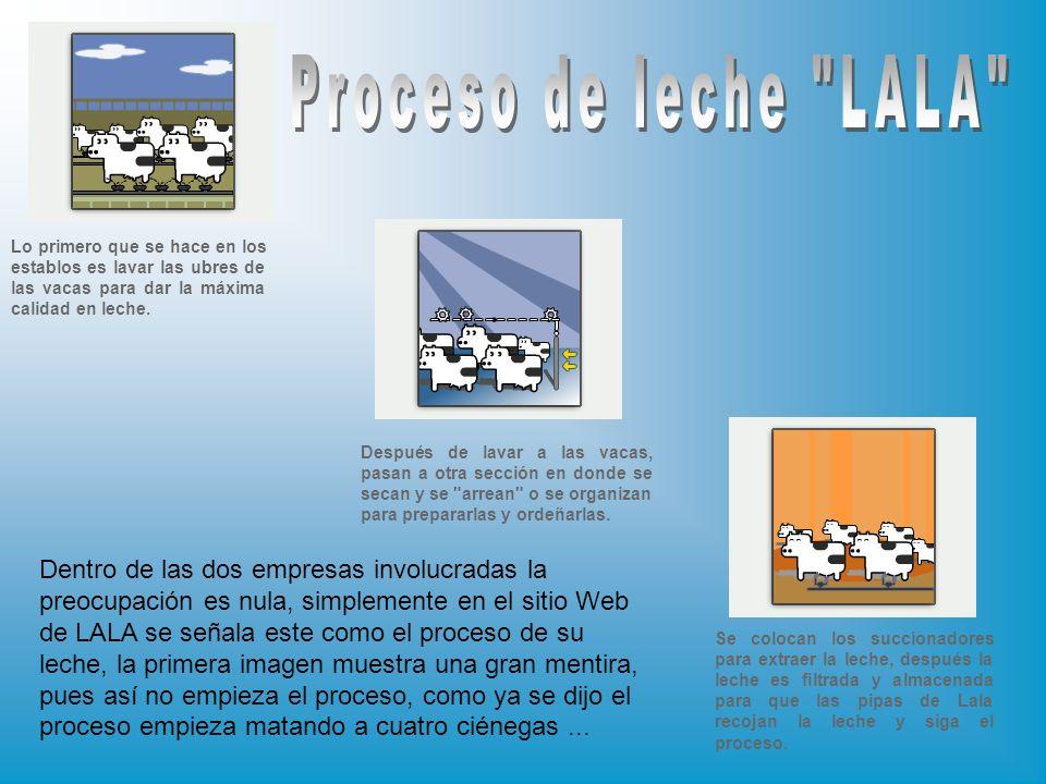 Proceso de leche LALA Lo primero que se hace en los establos es lavar las ubres de las vacas para dar la máxima calidad en leche.