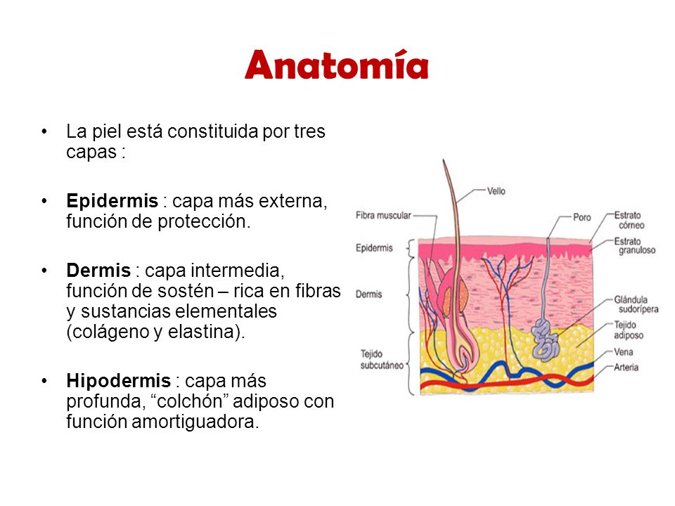 Hermosa Capas De La Piel Anatomía Colección de Imágenes - Anatomía ...
