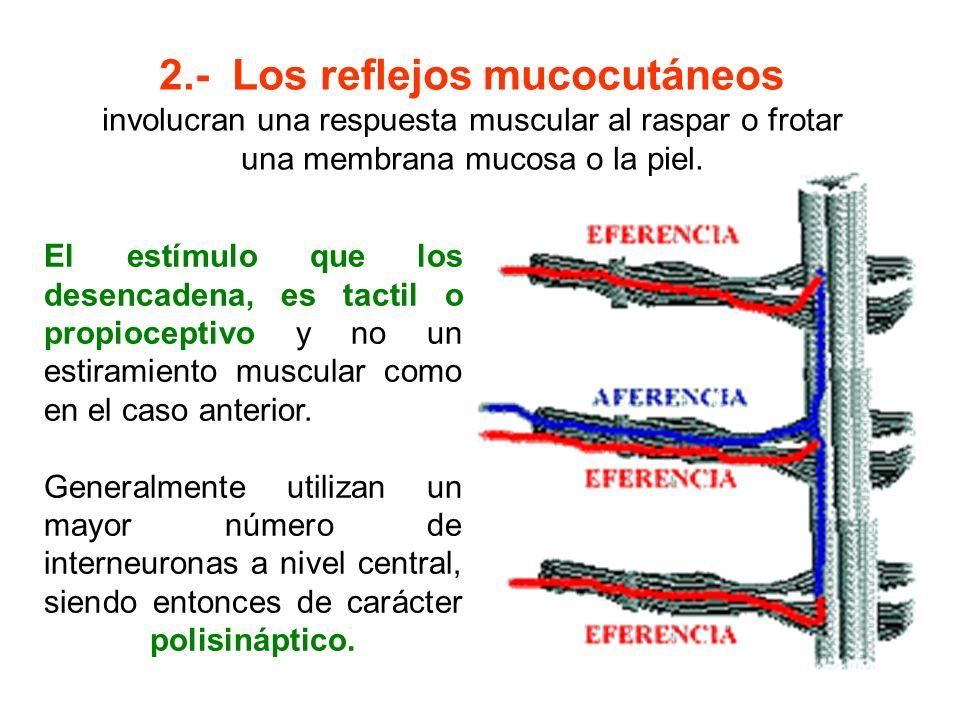 2.- Los reflejos mucocutáneos
