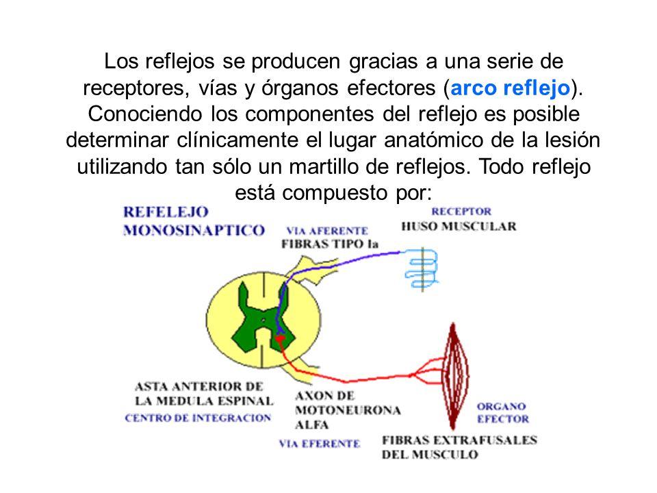 Los reflejos se producen gracias a una serie de receptores, vías y órganos efectores (arco reflejo).