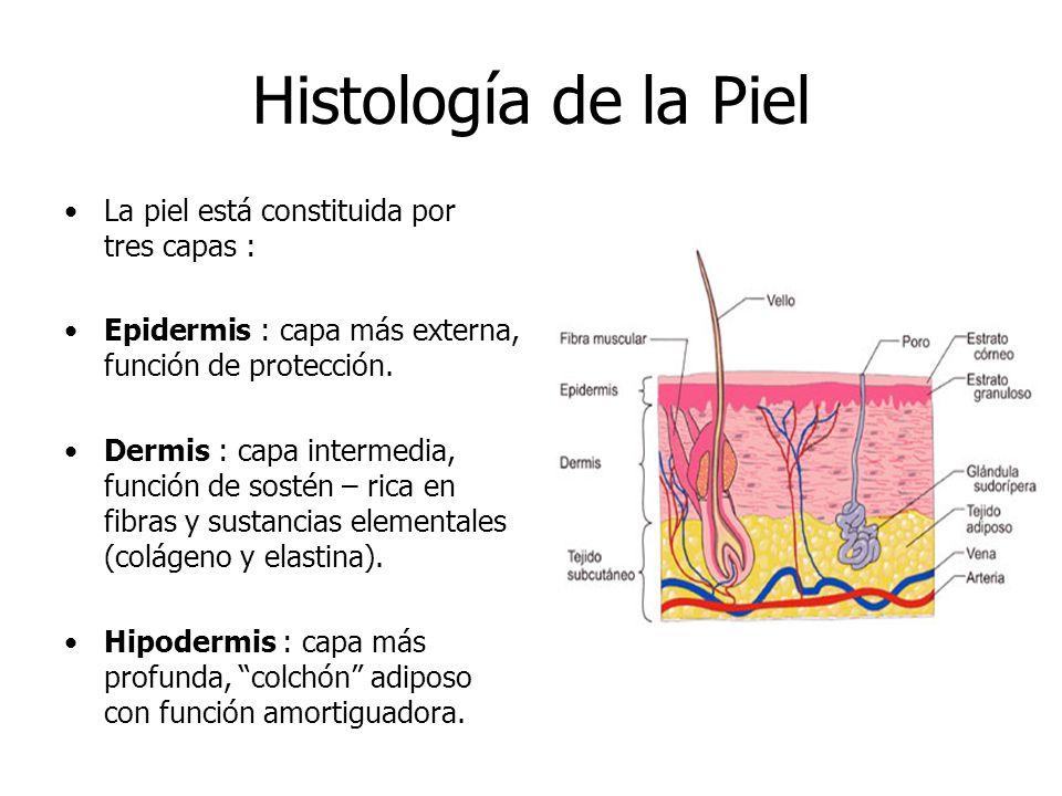 Histología Envejecimiento La Piel Patologías Radiación Solar. - ppt ...