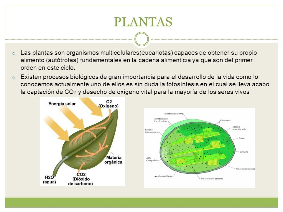 Sistema inmune en las plantas ppt descargar for Plantas fundamentales
