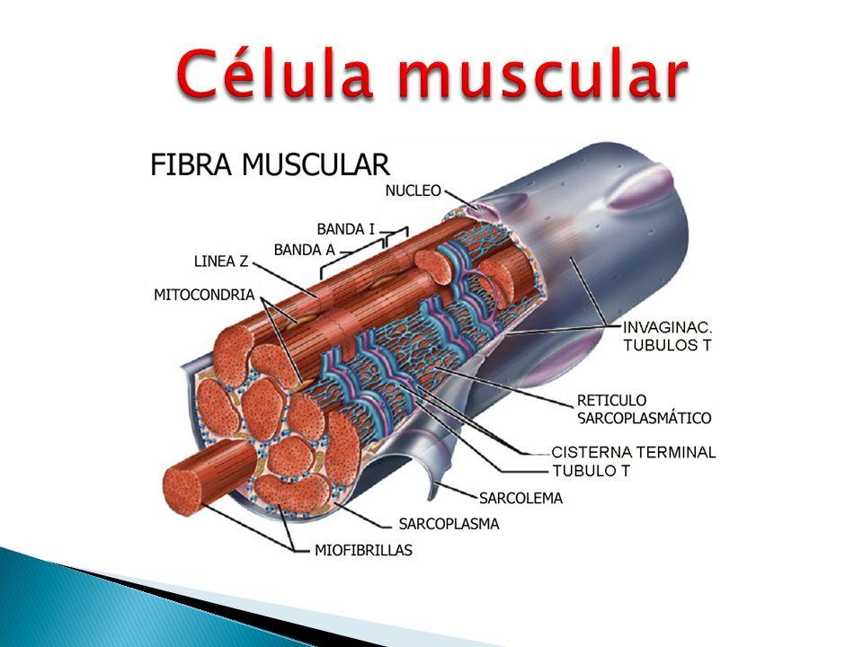 Perfecto Foto Célula Muscular Ideas - Anatomía de Las Imágenesdel ...