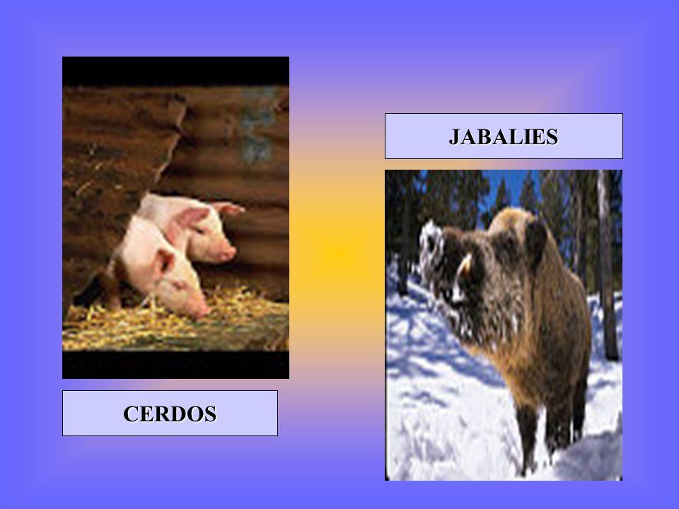 JABALIES CERDOS
