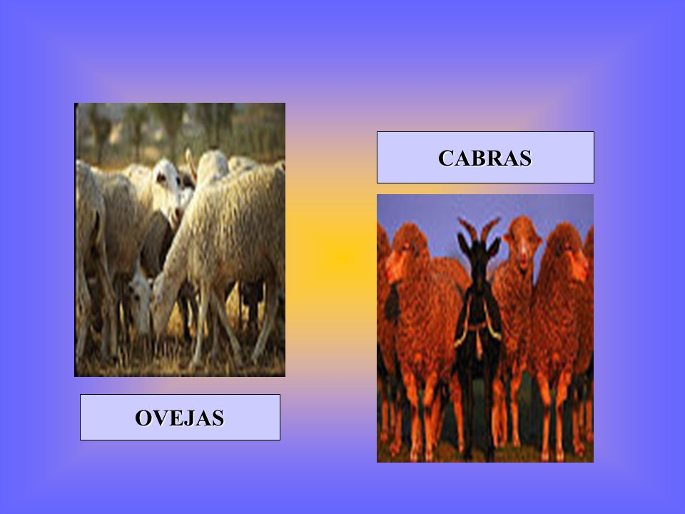 CABRAS OVEJAS