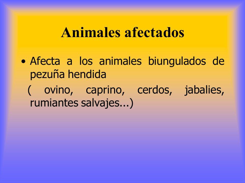 Animales afectados Afecta a los animales biungulados de pezuña hendida