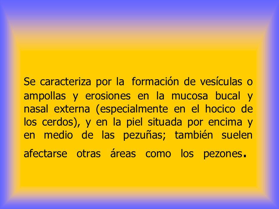 Se caracteriza por la formación de vesículas o ampollas y erosiones en la mucosa bucal y nasal externa (especialmente en el hocico de los cerdos), y en la piel situada por encima y en medio de las pezuñas; también suelen afectarse otras áreas como los pezones.