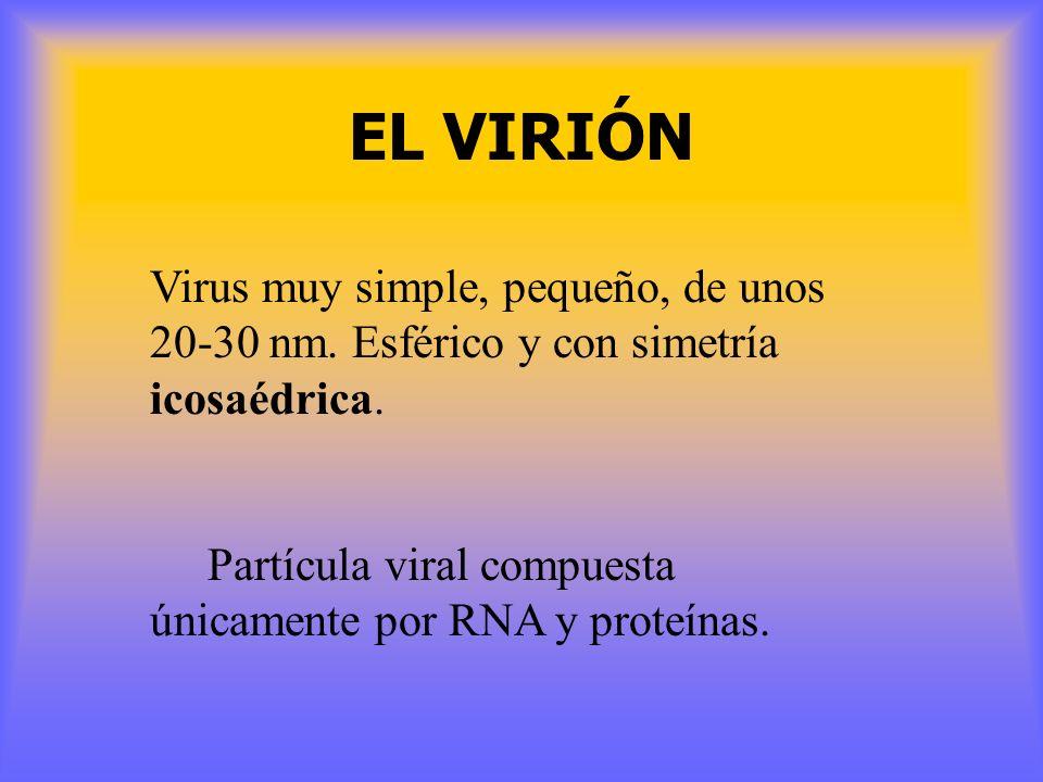 EL VIRIÓN Virus muy simple, pequeño, de unos 20-30 nm. Esférico y con simetría icosaédrica.