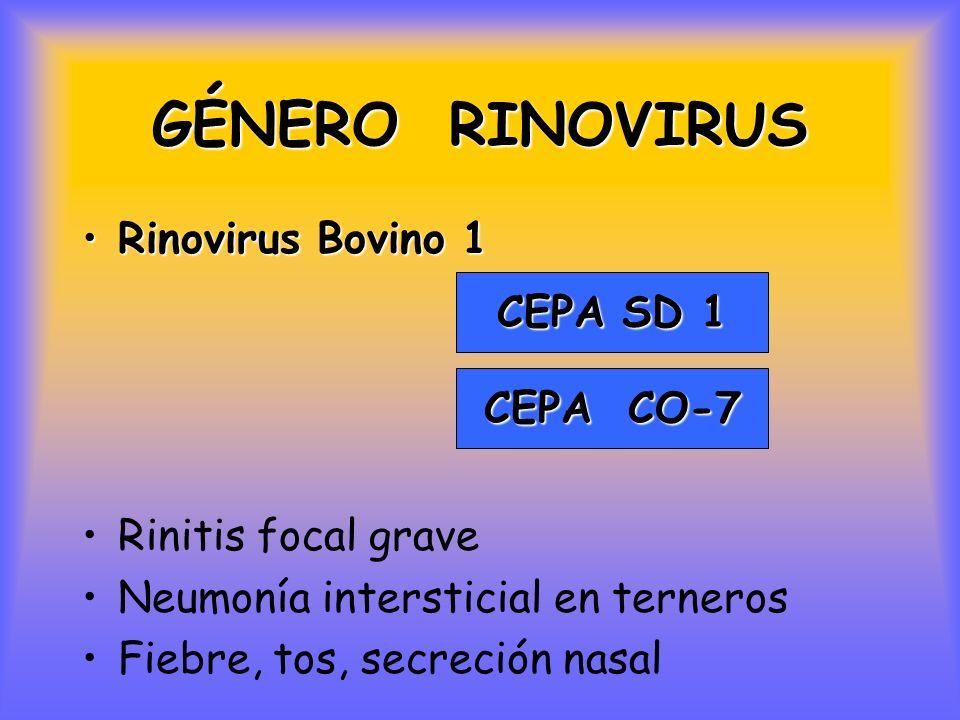 GÉNERO RINOVIRUS Rinovirus Bovino 1 CEPA SD 1 Rinitis focal grave