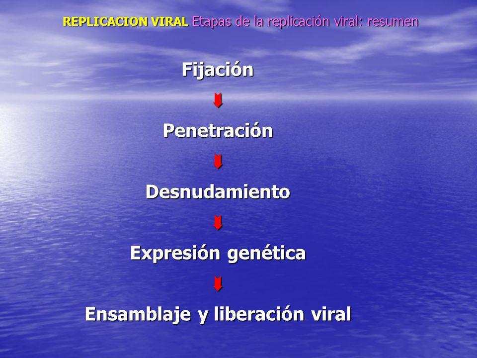 REPLICACION VIRAL Etapas de la replicación viral: resumen