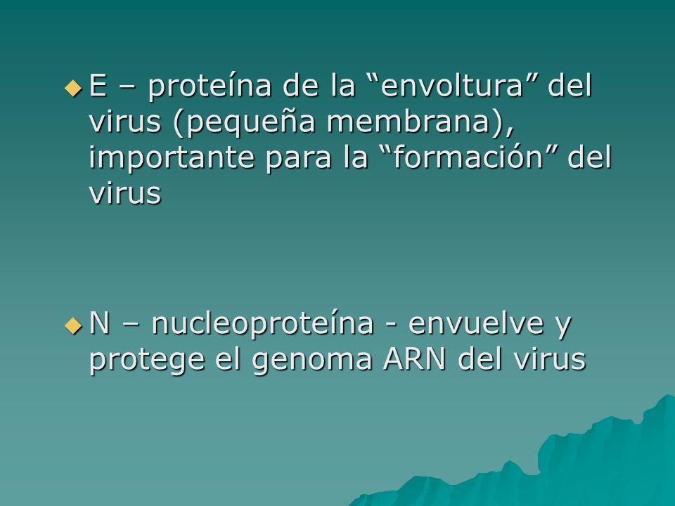 E – proteína de la envoltura del virus (pequeña membrana), importante para la formación del virus