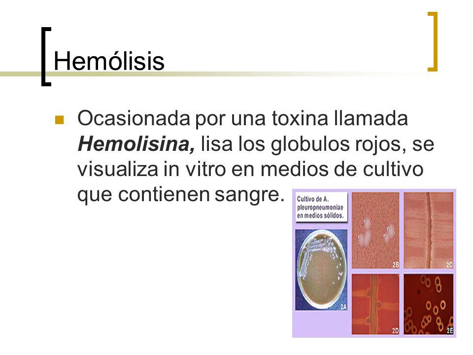 HemólisisOcasionada por una toxina llamada Hemolisina, lisa los globulos rojos, se visualiza in vitro en medios de cultivo que contienen sangre.