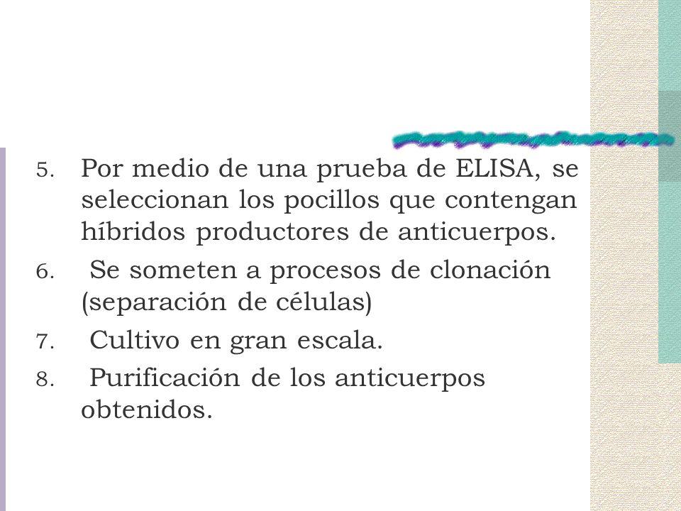 Por medio de una prueba de ELISA, se seleccionan los pocillos que contengan híbridos productores de anticuerpos.