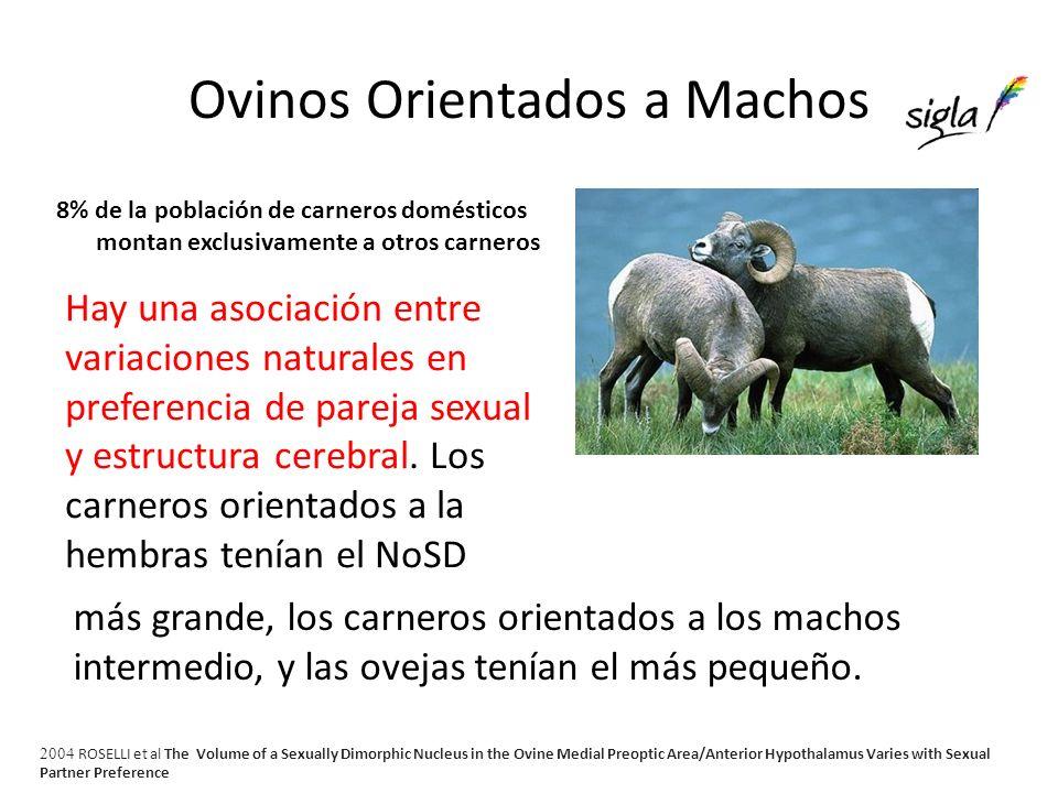 Descubren el olor de los machos de cabra que excita a