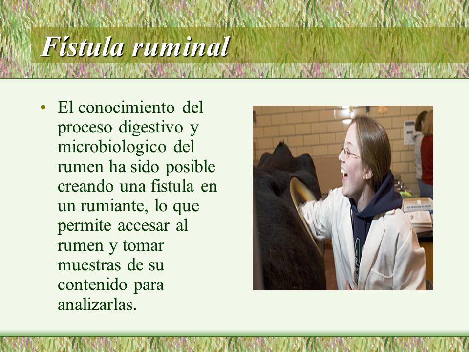 Fístula ruminal