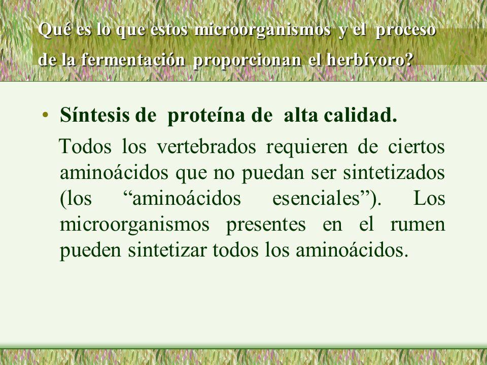Síntesis de proteína de alta calidad.