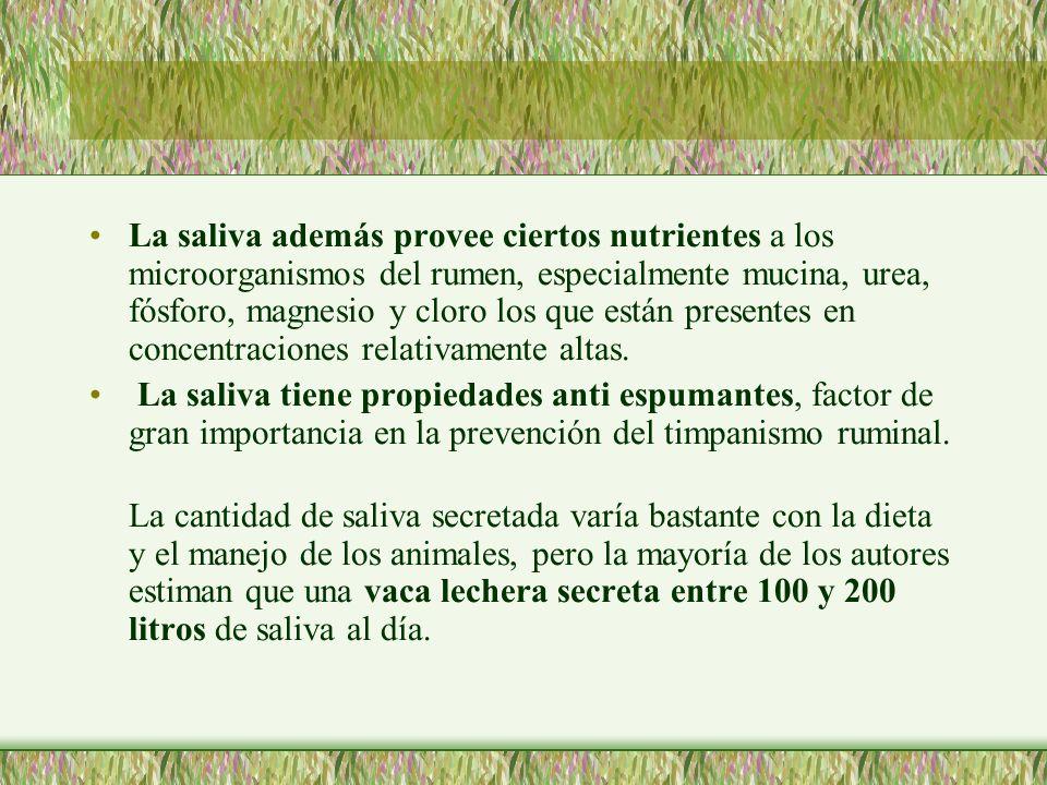 La saliva además provee ciertos nutrientes a los microorganismos del rumen, especialmente mucina, urea, fósforo, magnesio y cloro los que están presentes en concentraciones relativamente altas.