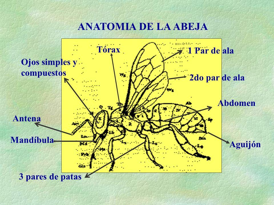 Vistoso Anatomía Abejorro Patrón - Anatomía de Las Imágenesdel ...
