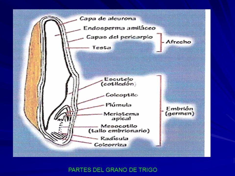Dibujo Del Grano De Trigo: UNIVERSIDAD NACIONAL SAN LUIS GONZAGA DE ICA