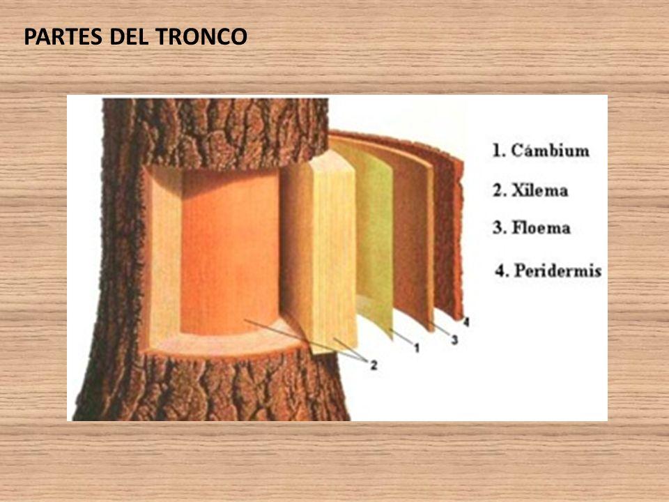 La madera ppt video online descargar for Cuales son las partes de un arbol
