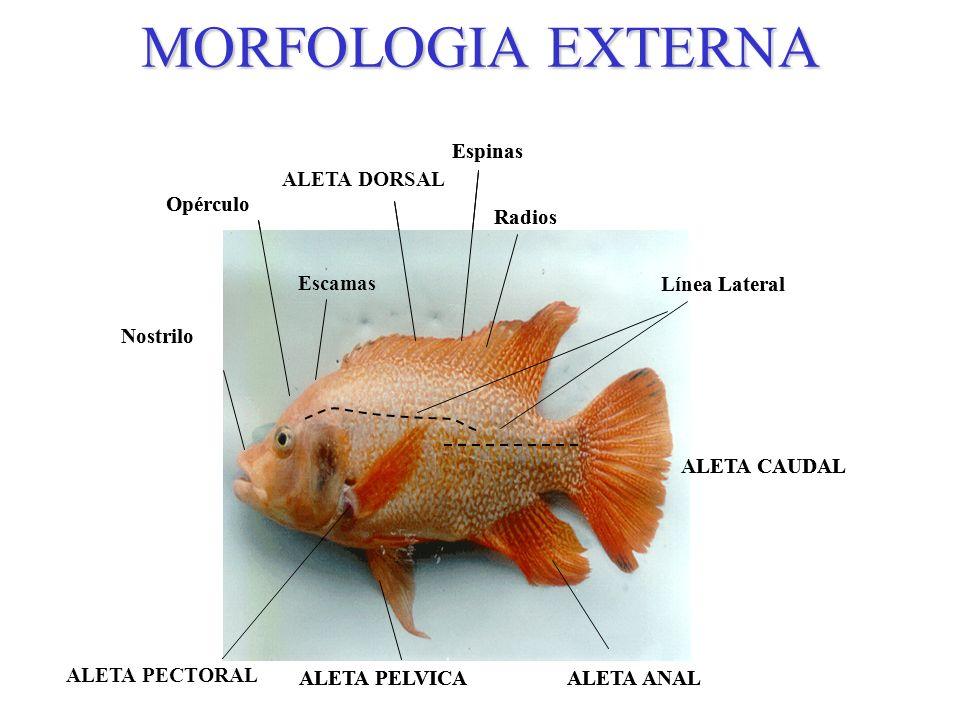 Lujoso Anatomía Externa De Carabao Festooning - Anatomía de Las ...