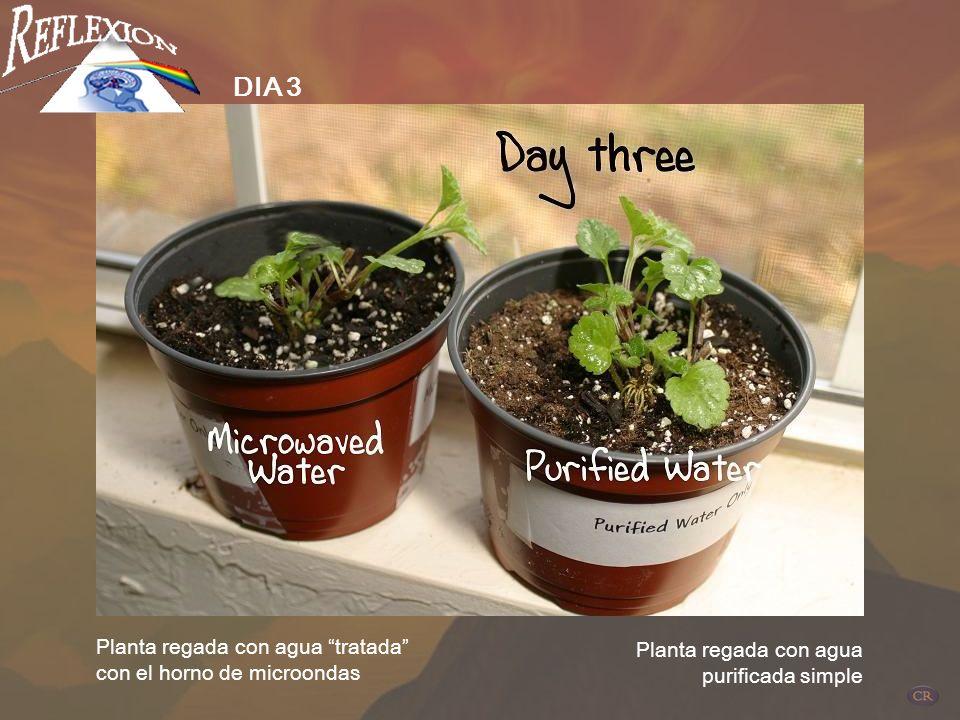 DIA 3 Planta regada con agua tratada con el horno de microondas