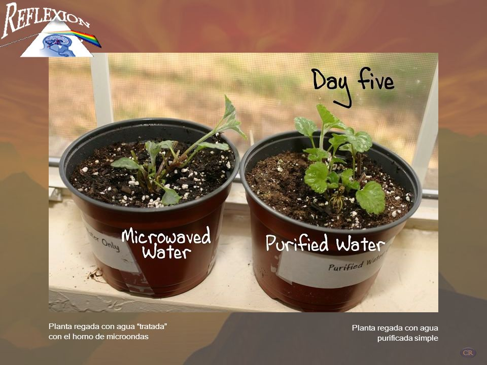 DIA 5 Planta regada con agua tratada con el horno de microondas