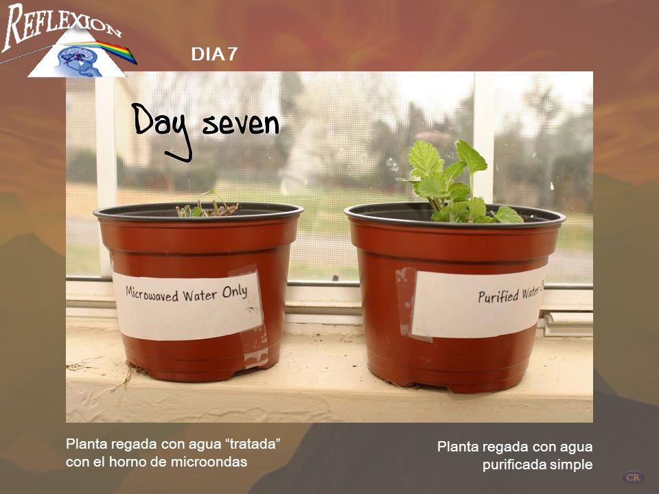 DIA 7 Planta regada con agua tratada con el horno de microondas