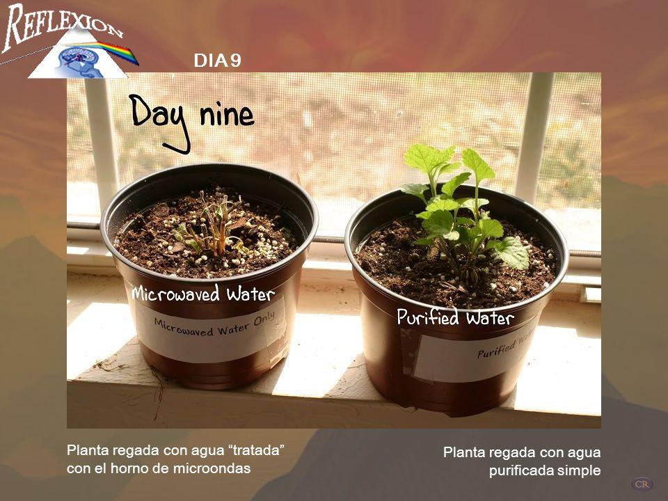 DIA 9 Planta regada con agua tratada con el horno de microondas