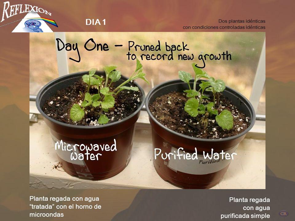 DIA 1 Planta regada con agua tratada con el horno de microondas