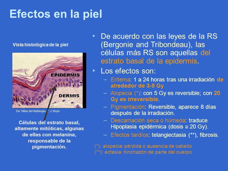 Efectos en la piel De acuerdo con las leyes de la RS (Bergonie and Tribondeau), las células más RS son aquellas del estrato basal de la epidermis.