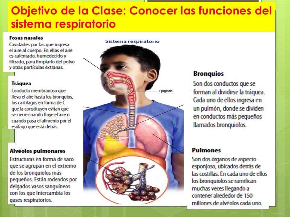 Contemporáneo órganos Del Sistema Respiratorio Modelo - Anatomía de ...