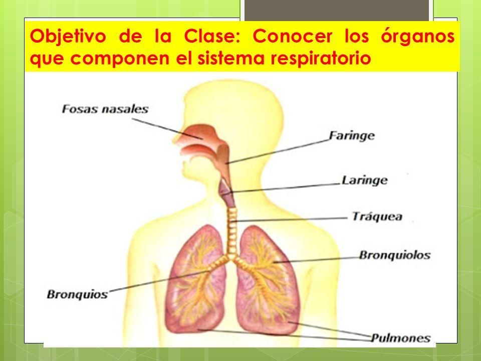 Encantador El Sistema De órganos Bandera - Imágenes de Anatomía ...