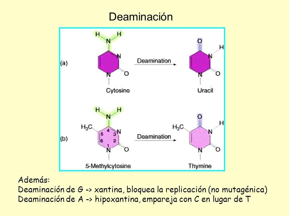 Deaminación Además: Deaminación de G -> xantina, bloquea la replicación (no mutagénica)